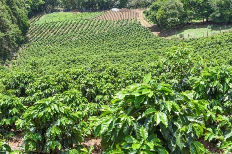 Naranjo Coffee plantation